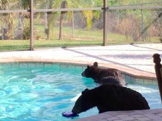 熊出没 美国一男子家中泳池惊现两小熊【视频】