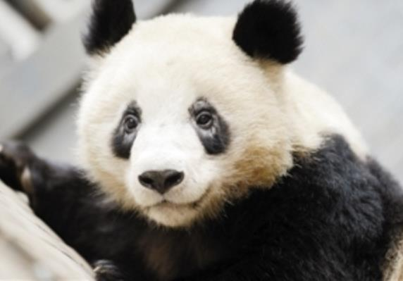 """大熊猫基地被曝多只熊猫""""黑眼圈""""变白 已引进国外药"""