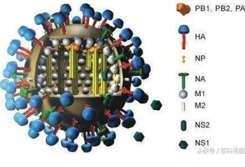 流感病毒悄然改变 出现这些症状是甲型H1N1信号!