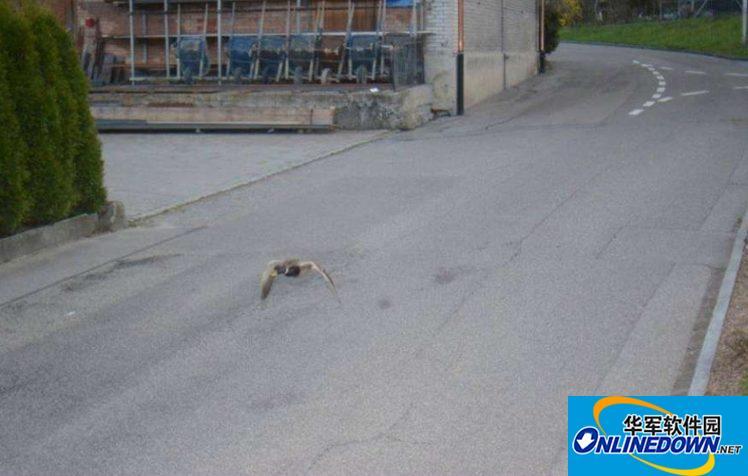 鸭子在限速路上超速飞行 被警方通缉