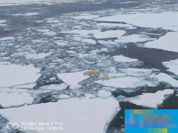 登頂珠峰后 華為Mate 9又為北極熊拍了一組絕美大片